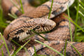 Free Bull Snake Close-up Stock Photography - 14507052