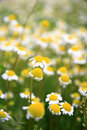 Free Daisy Background Royalty Free Stock Photos - 14508748