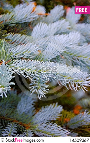 Blue Spruce Detail Stock Photo