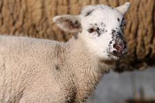 Free Lamb Stock Photos - 14500143