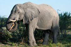 Free Elephant Eating A Tree Royalty Free Stock Images - 14500199