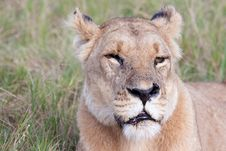 Free One Eyed Lioness Royalty Free Stock Photo - 14500335