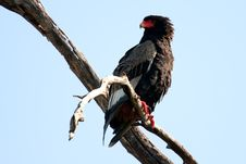 Free Bateleur On A Branch Royalty Free Stock Photography - 14500337