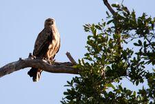 Free Tawny Eagle Stock Image - 14500341