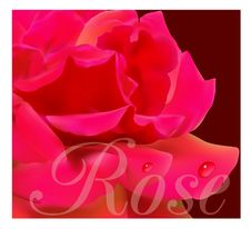 Free Beautiful Red Rose Stock Photography - 14501372