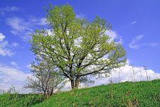 Free Oak On Field Stock Photo - 14501480