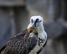 Bearded Vulture Take A Meat Royalty Free Stock Photo