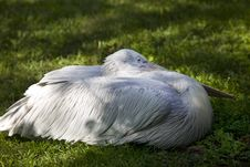 Free Pelican On Grass Royalty Free Stock Photography - 14501617