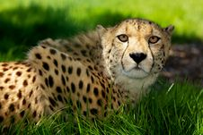 Cheetah Lying In Grass Stock Images