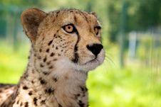Free Cheetah Alert Stock Images - 14502854