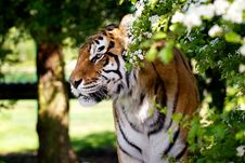 Free Tiger And Hawthorn Bush Royalty Free Stock Photography - 14502867