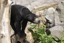 Free Sun Bear Royalty Free Stock Images - 14503109