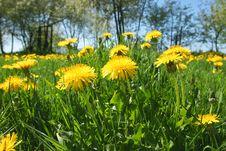 Free Yellow Dandelion Meadow Stock Image - 14504151