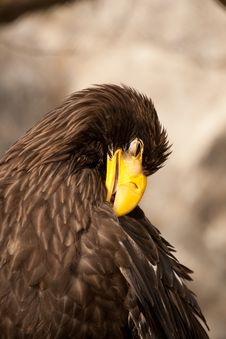 Free Eagle Royalty Free Stock Photography - 14504677