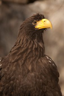 Free Eagle Royalty Free Stock Photography - 14504687