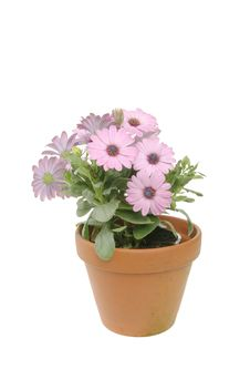 Free Osteopermum Flowers And Plant Royalty Free Stock Image - 14505146