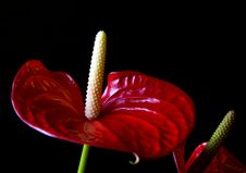 Free Red Anthurium Royalty Free Stock Photo - 14505405