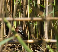Free Little Grebe At Nest Stock Image - 14505811