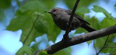 Free Chubby Black Sparrow-like Bird Royalty Free Stock Images - 14506569
