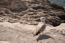 Free A Seagull On Stones Royalty Free Stock Photography - 14506607