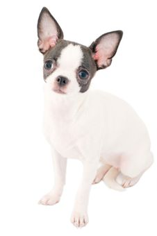 Free White With Black Chihuahua Puppy Portrait Isolated Stock Image - 14507421