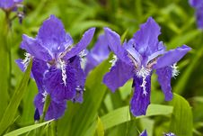 Purple Iris Stock Photo