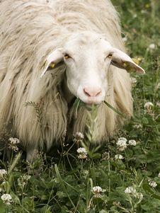 Free Sheep Staring At The Camera Royalty Free Stock Photos - 14507848