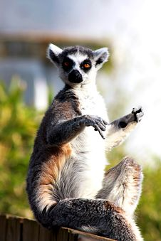 Free Funny Lemur Royalty Free Stock Images - 14508309