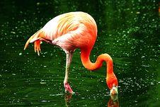 Free Orange Flamingo Stock Photography - 14508342