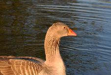 Greylag Goose In The Water Royalty Free Stock Photography