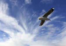 Free Blue Sky Gull Royalty Free Stock Photography - 14509077