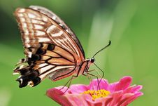 Free Butterfly Royalty Free Stock Photos - 14509078