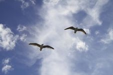 Free Blue Sky Gulls Stock Photos - 14509083