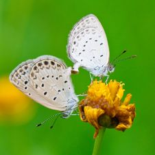 Free Copulating Butterflys Stock Photos - 14509133