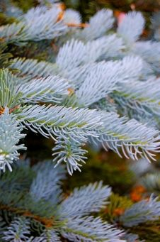 Free Blue Spruce Detail Royalty Free Stock Photography - 14509367