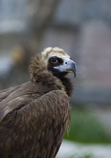 Black Vulture Close Up Royalty Free Stock Photography