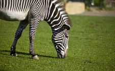Free Zebra Walk On Grass Stock Photography - 14509602