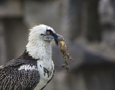 Bearded Vulture Take A Meat Royalty Free Stock Images