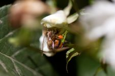 Free Bee On Flower Close-up Stock Photography - 14509902