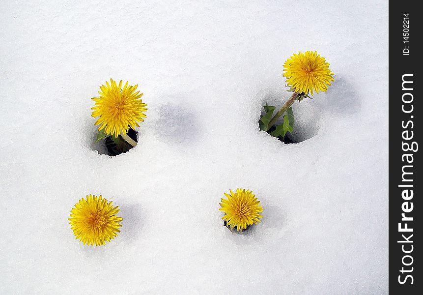 Dandelions in snow