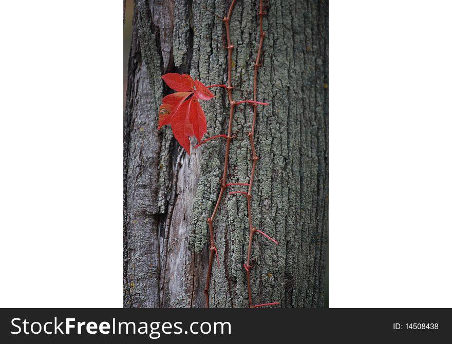 Last leaf on the vine