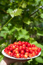 Free Tasty Cherries Stock Photo - 14519140