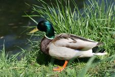 Free Duck 1 Stock Photos - 14510133