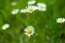 Free Daisies Stock Image - 14510251