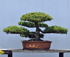 Free Bonsai Of Pine Stock Photos - 14510283