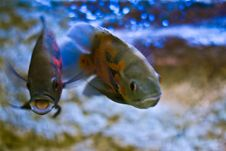 Free Aquarium Fish Royalty Free Stock Image - 14510286