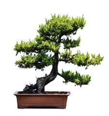 Free Bonsai Of Pine Royalty Free Stock Photos - 14510388