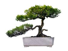 Free Bonsai Of Pine Stock Image - 14510441