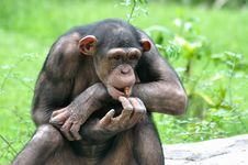Free A Monkey Royalty Free Stock Images - 14510559
