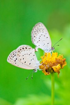 Free Copulating Butterflys Stock Photography - 14510592